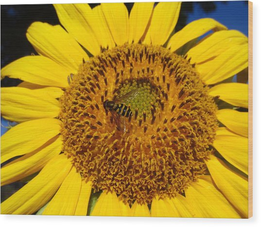Sunflower Visitor Series 1 Wood Print
