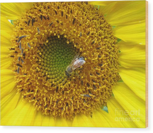 Sunflower Visitor Series 2 Wood Print
