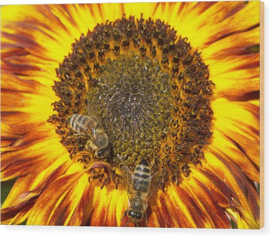 Sunflower With Bees Wood Print