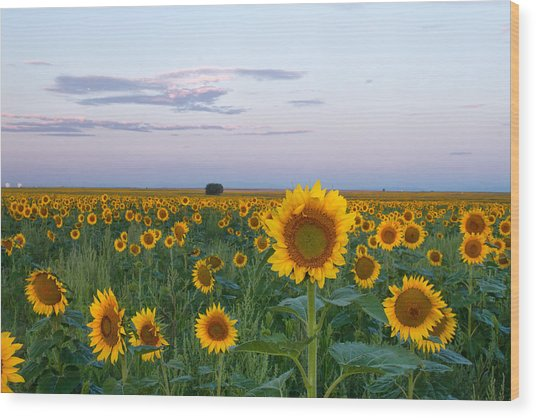 Sunflowers At Sunrise Wood Print
