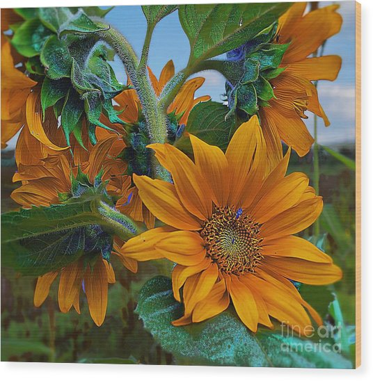 Sunflowers In A Bunch Wood Print