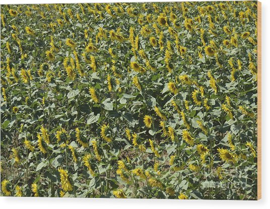 Sunflowers In Chianti Wood Print by Sami Sarkis