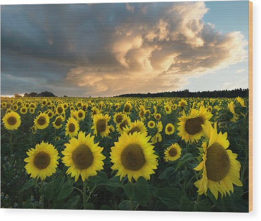 Sunflowers In Sweden. Wood Print