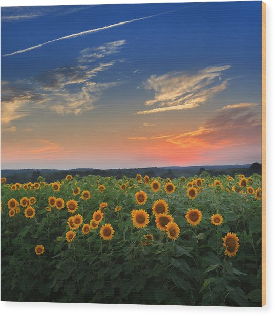 Sunflowers In The Evening Wood Print