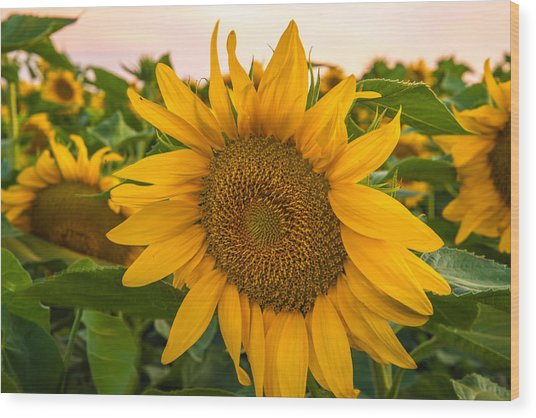 Sunflowers  Wood Print