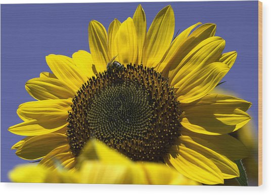 Sunflowers Wood Print by John Holloway