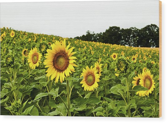 Sunflowers On A Hill Wood Print