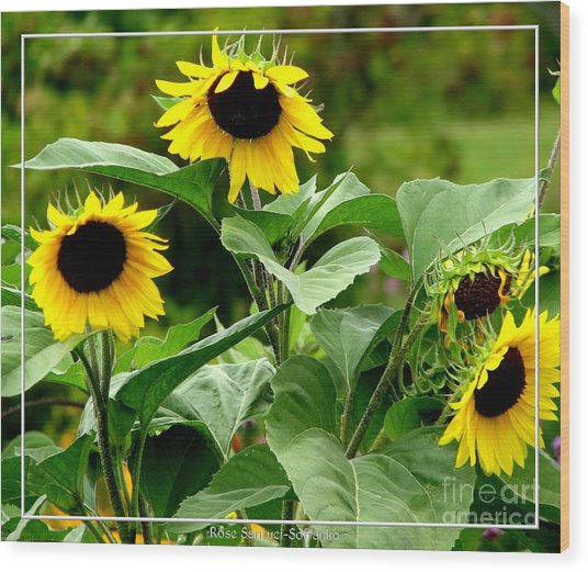 Wood Print featuring the photograph Sunflowers by Rose Santuci-Sofranko