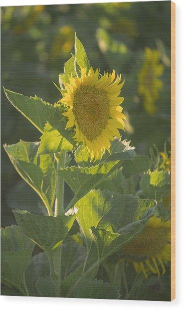 Sunlight And Sunflower 3 Wood Print