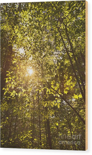 Sunlight Shining Through A Forest Canopy Wood Print by Jonathan Welch