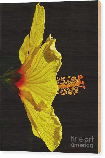 Sunlit Hibiscus Wood Print