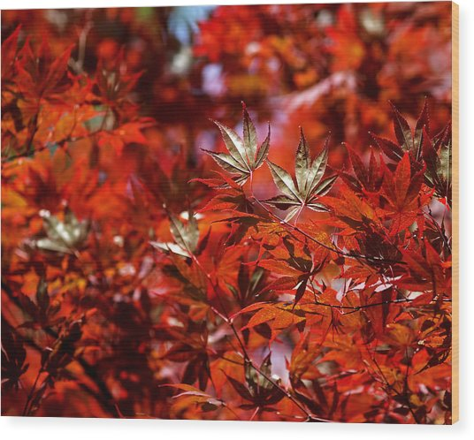 Sunlit Japanese Maple Wood Print