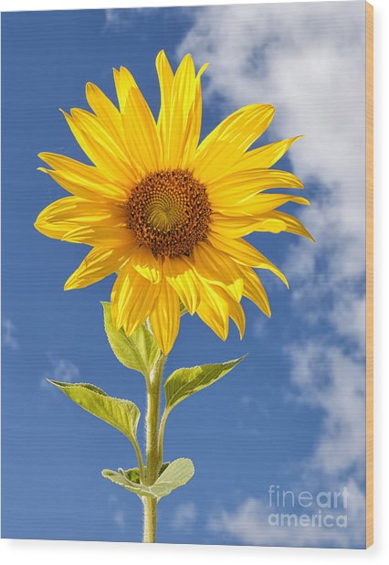 Sunny Sunflower Wood Print by Joshua Clark