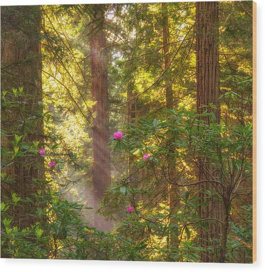 Sunrays Over Redwoods Wood Print