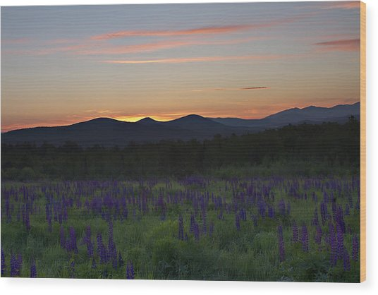Sunrise Over A Field Of Lupines Wood Print