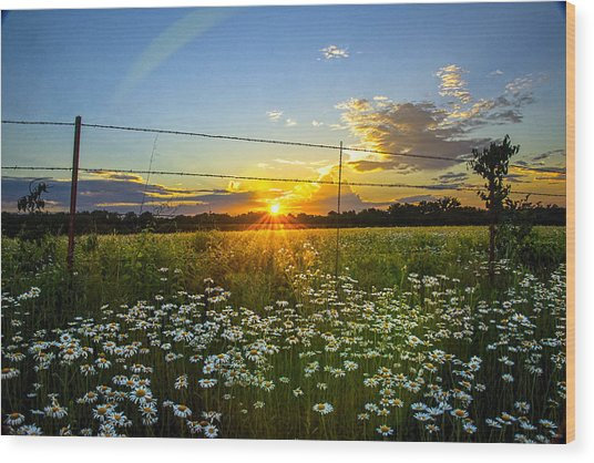 Sunset Daisies Wood Print