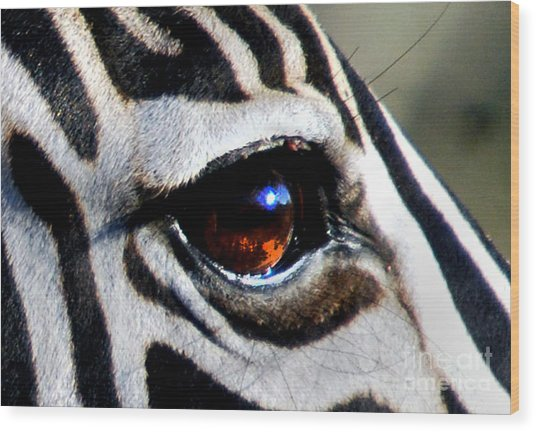 Sunset Reflected In Zebra's Eye    Wood Print