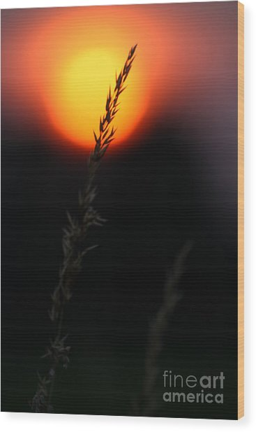 Wood Print featuring the photograph Sunset Seed Silhouette by Jeremy Hayden