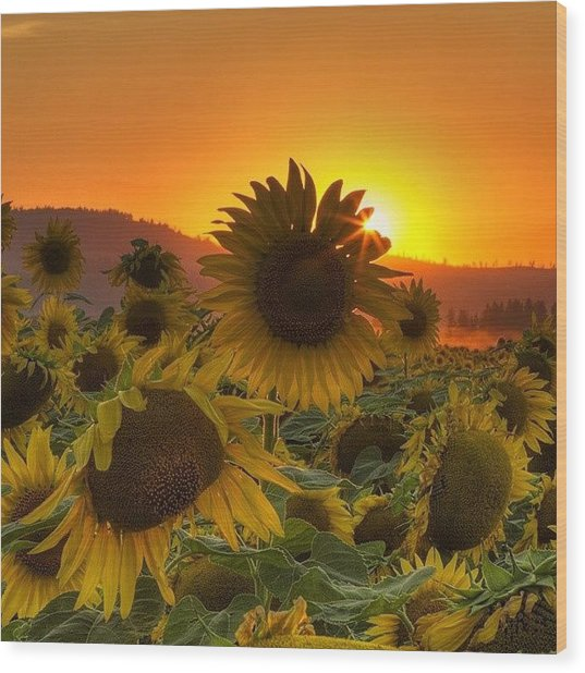 Sunst And Sunfloers  #sunset Wood Print