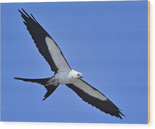 Swallow-tailed Kite Wood Print