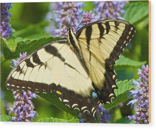 Swallowtail Butterfly On Anise Hyssop Wood Print