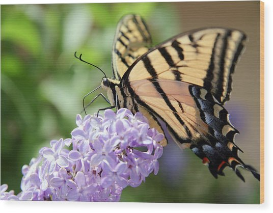 Swallowtail Butterfly On Lilac Wood Print
