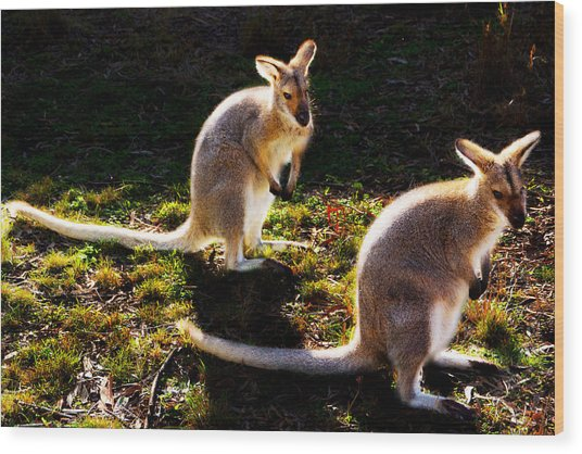 Red-necked Wallabies Wood Print