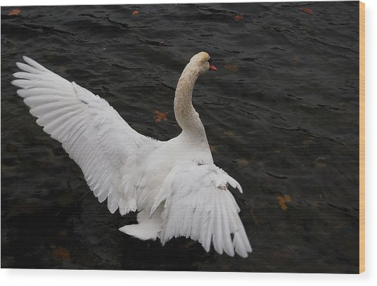 Swan Airing Out Wings Wood Print