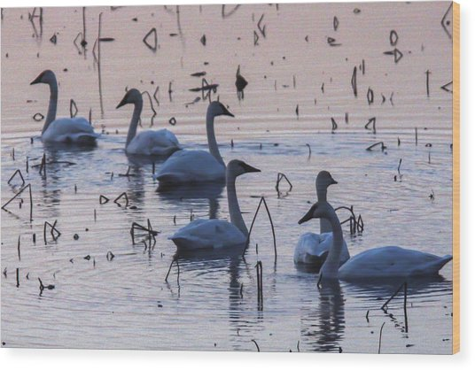 Swan At Dusk Wood Print by Jill Bell
