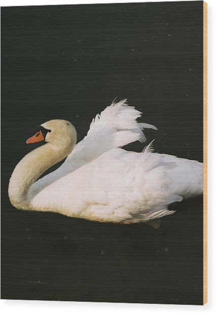 Swan At Rest Wil 115 Wood Print