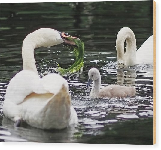 Swan Family Meal Wood Print