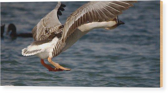 Swan Goose Water Landing 3 Wood Print