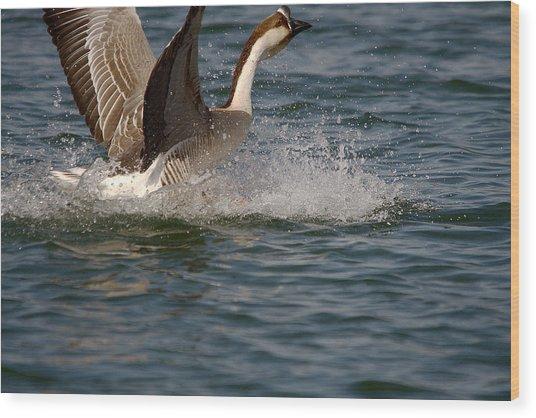 Swan Goose Water Landing 5 Wood Print