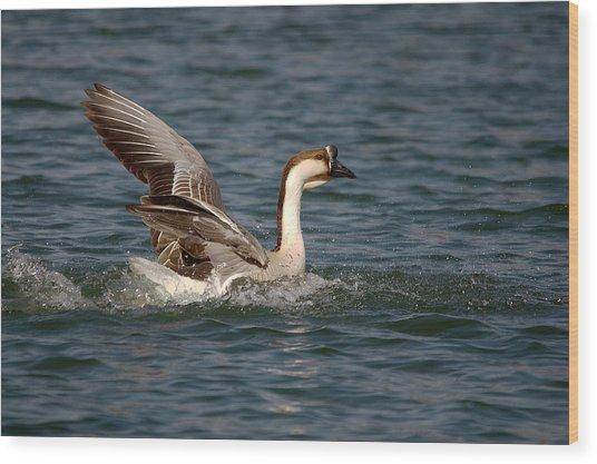 Swan Goose Water Landing 6 Wood Print
