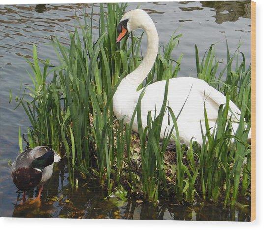 Swan Nesting Wood Print