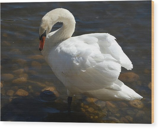 Swan Sunbathing Wood Print