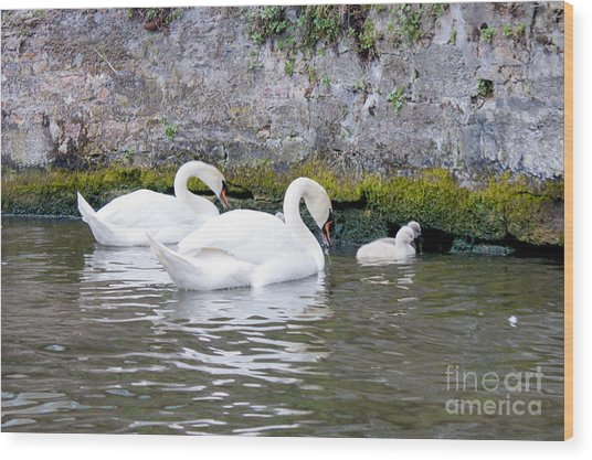 Swans And Cygnets In Brugge Canal Belgium Wood Print