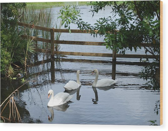 Swans In The Pond Wood Print