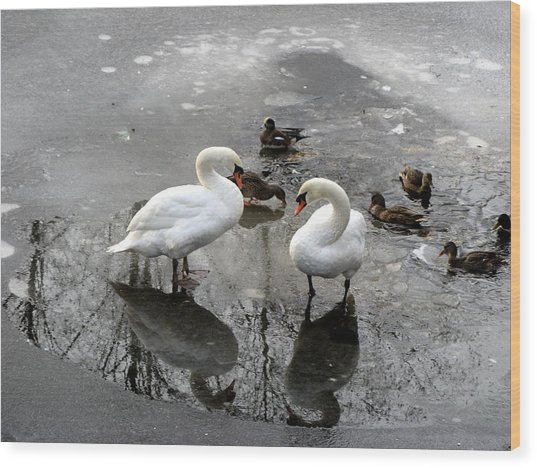 Swans On Thin Ice Wood Print