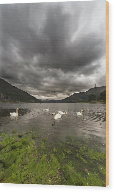 Swans Swimming In The Water Of Loch Wood Print by John Short / Design Pics
