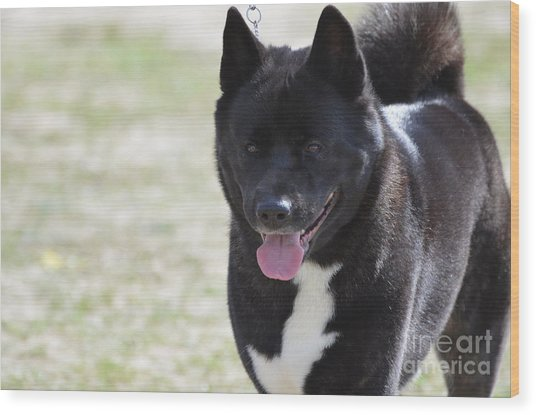 Sweet Akita Dog Wood Print