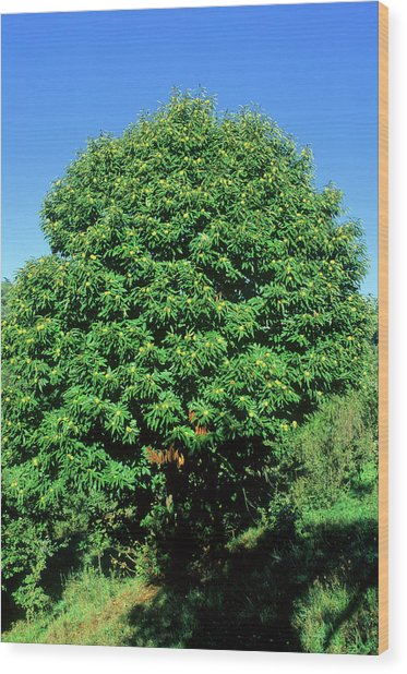 Sweet Chestnut Tree (castanea Sativa) Wood Print by Bruno Petriglia/science Photo Library