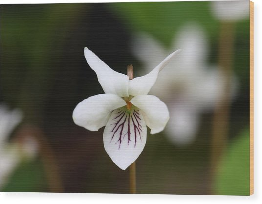 Wood Print featuring the photograph Sweet White Violet by Daniel Reed