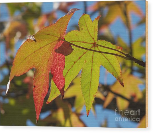 Sweetgum Leaf Pair In Fall Finery Wood Print