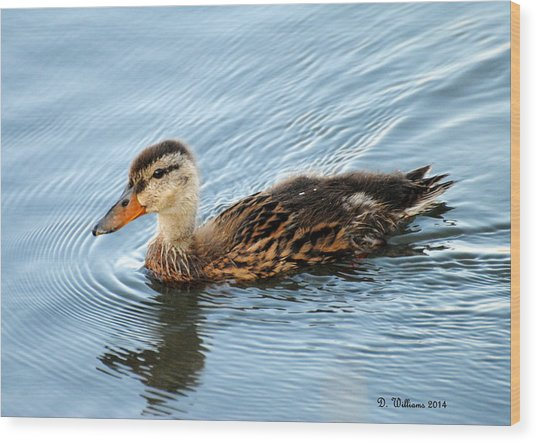 Swimming Mallard Hen Wood Print