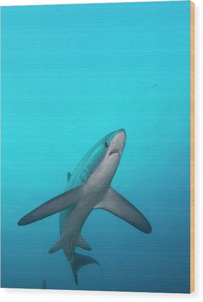 Swimming Thresher Shark Wood Print