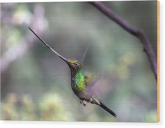 Sword-billed Hummingbird Hovering Ecuador Wood Print
