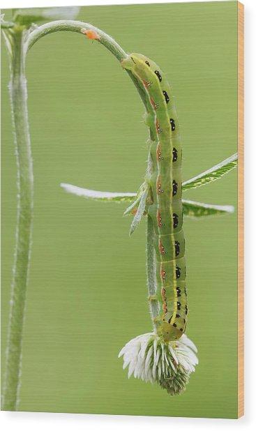 Sword-grass Caterpillar Wood Print by Heath Mcdonald