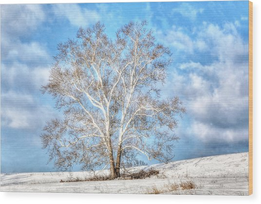 Sycamore Winter Wood Print