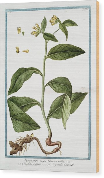 Symphytum Majus Wood Print by Rare Book Division/new York Public Library